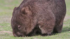 Wombat 1 Stock Footage