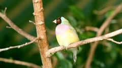 finches sitting on a branch in the forest - stock footage