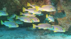 School of oriental sweetlips tropical fish 1 - stock footage
