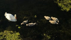 Swans foraging on River in Europe GFHD Stock Footage