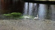 Swans And Ducks - Campello Sul Clitunno, Umbria, Italy Stock Footage