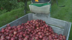 Red Delicious apples picked and placed into a orchard bin Stock Footage