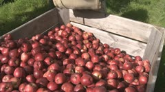 Red delicious picked into orchard bin Stock Footage