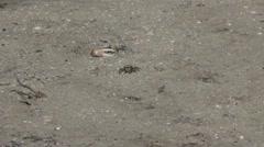 Wildlife   fiddler crabs 03292012-2 -- H264 Stock Footage
