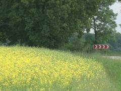Bloom oilseed rape field Stock Footage