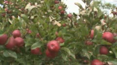 Tracking shot into red apples on a tree Stock Footage