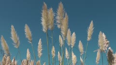 Pampas Grass Stock Footage