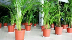Plants of family palm in pots on floor at hall Stock Footage