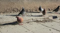 Pigeons on the sidewalk 2 Stock Footage