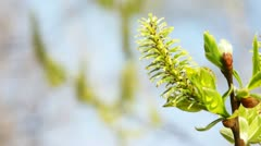 blossoming spring willow bud on branches swaying in wind - stock footage