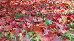 Autumn colours, Acer leaves - stock footage