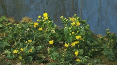 Dotterbloem Marsh Marigold Caltha palustris blooming yellow 1080i Stock Footage