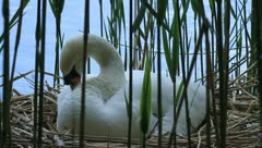 Mute swan Stock Footage