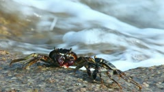 Crabs. - stock footage