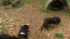 Tasmanian Devils fighting Stock Footage