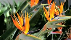 Birds of Paradise Flowers 3 - stock footage