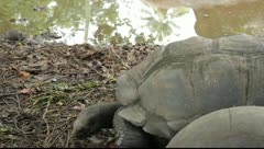 Largest tortoises in the world  Raw Stock Footage