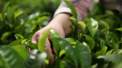 People harvest green tea bush - stock footage