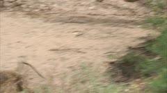 Adult Savannah Baboon running in Niassa Reserve, Mozambique. Stock Footage