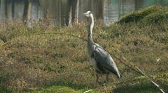 blauwe reiger - grey heron - ardea cinerea 1080i 01 - stock footage