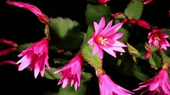 Epiphytic cactus bloom on the black background (Schlumbergera) timelapse Stock Footage