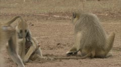 Adults and infant Savannah Baboons foraging in Niassa Reserve, Mozambique. Stock Footage
