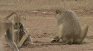 Stock Video Footage of Adults and infant Savannah Baboons foraging in Niassa Reserve, Mozambique.