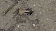 Stock Video Footage of Wildlife   fiddler crabs 03292012-9 -- H264