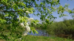 Branch of bird cherry Stock Footage