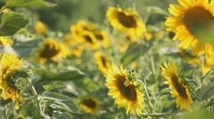 Field of sunflowers Stock Footage