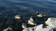 Group Of Canada Geese (Branta Canadensis) - stock footage