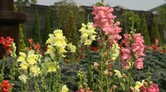 Stems of snap dragons in flower garden Stock Footage