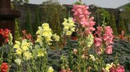 Stock Video Footage of stems of snap dragons in flower garden