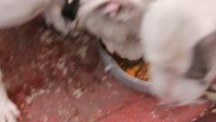 3 Pitbulls eating good! Stock Footage