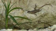 Amid Nature - Fence Lizard On A Rock Stock Footage
