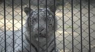 Tiger in zoo Stock Footage