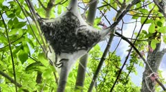 Amid Nature - Active Nest of Adult Bagworms (or Webworms) Stock Footage