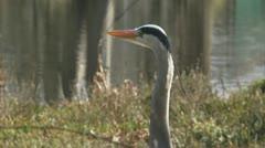 blauwe reiger - grey heron - ardea cinerea 1080i 02 cu - stock footage