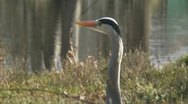 Stock Video Footage of blauwe reiger - grey heron - ardea cinerea 1080i 02 cu