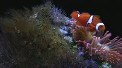 Clown fish swimming in Sea Anemone Stock Footage