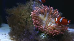 Sea anemone with Clown fish Stock Footage