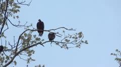 Turkey Vulture in Tree 1 HD Stock Footage