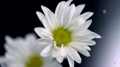 Daisy and water droplet, Slow Motion - stock footage