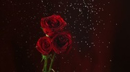 Red rose in rain, Slow Motion Stock Footage