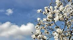 magnolia blossom - stock footage