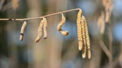 Spring nutwood catkins in the wind Stock Footage