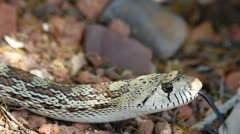 Snake Flicks Tongue Slithers Stock Footage