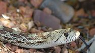 Stock Video Footage of Snake Flicks Tongue Slithers