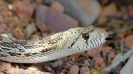 Stock Video Footage of Snake Flicks Tongue Slow Motion