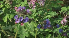 Pulmonaria officinalis, Lungwort flowering 720p Stock Footage